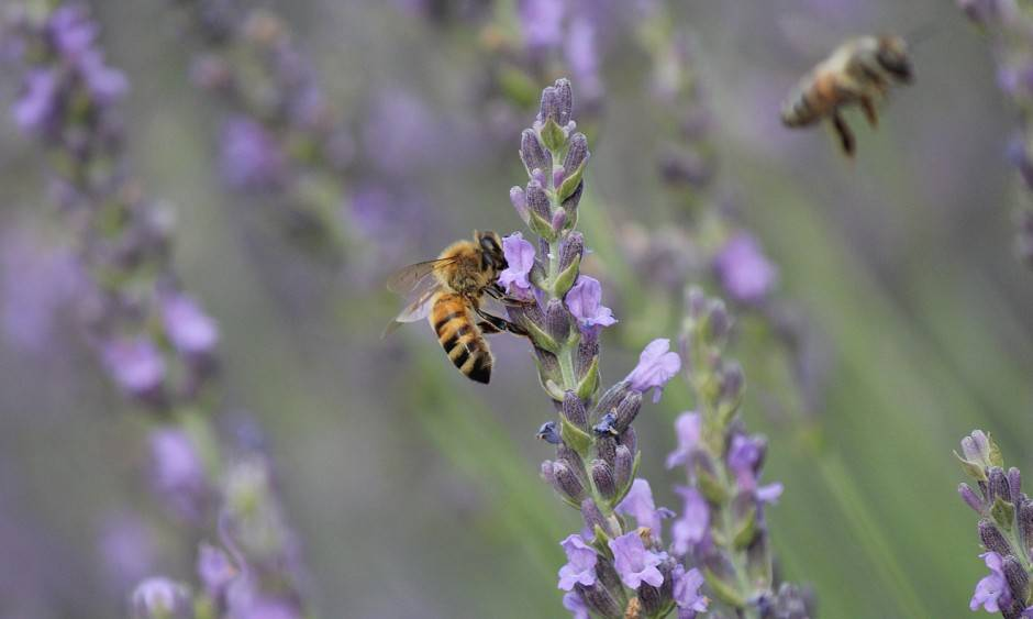 Bees in the lavender fields