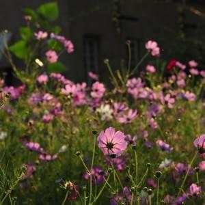 Dean Houghton outdoor garden cosmos
