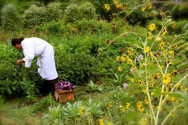 Executive Chef Jonathan Perno harvesting at Los Poblanos