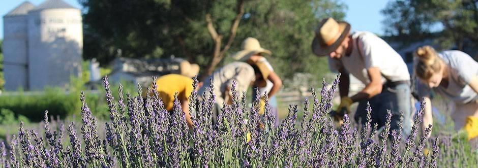 Lavender Farm at Los Poblanos