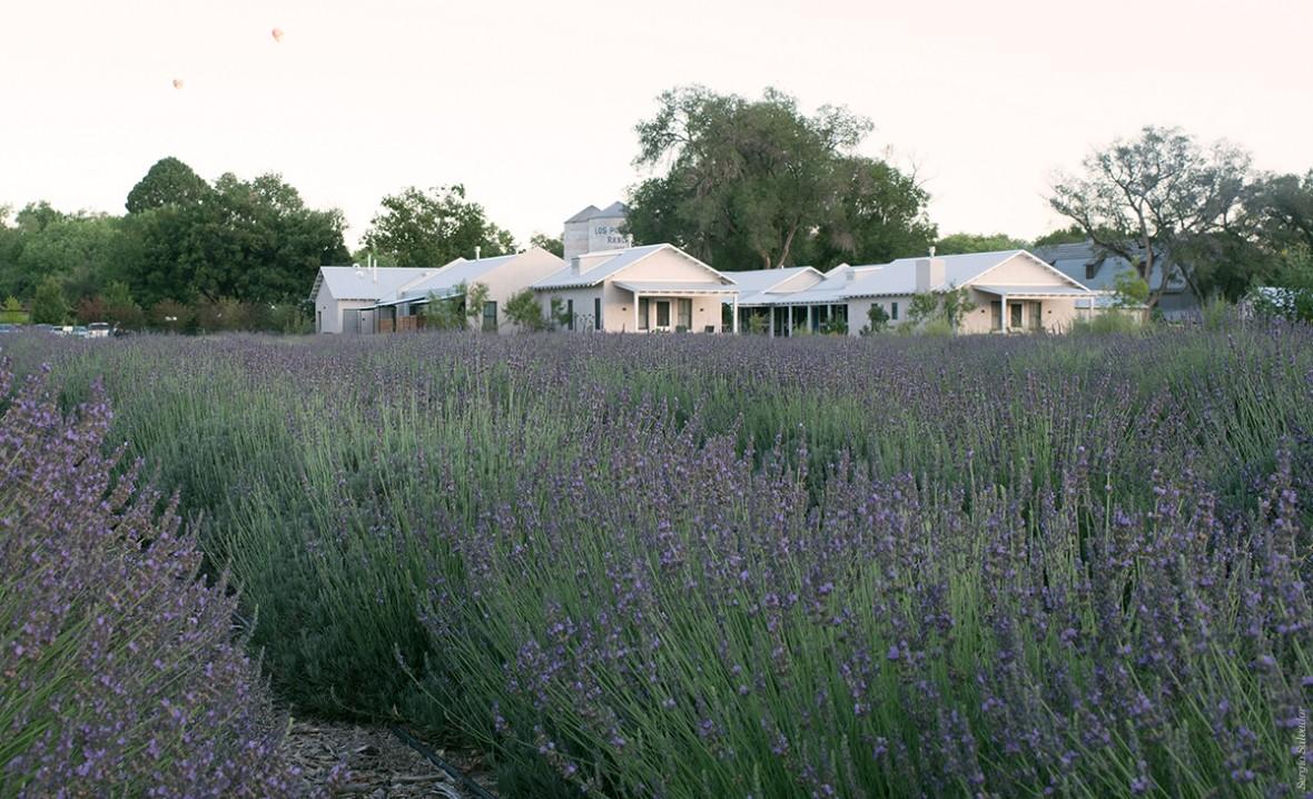 lavender fields in bloom