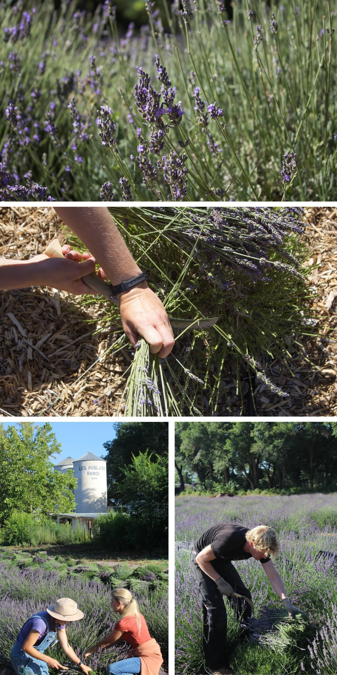 Harvesting Lavender at Los Poblanos
