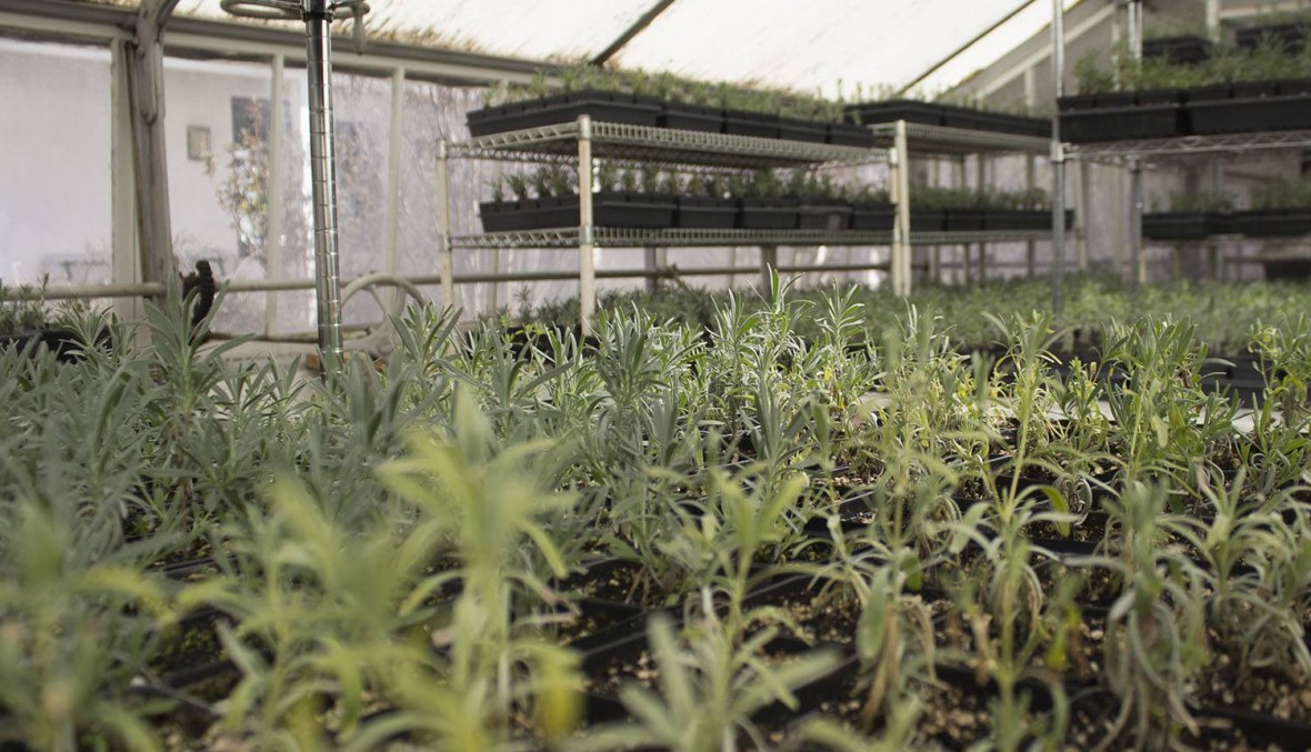 Lavender starts in the historic greenhouse.