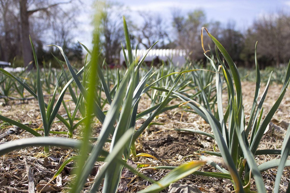 Onions and leeks that were planted earlier are almost ready for spring harvest.