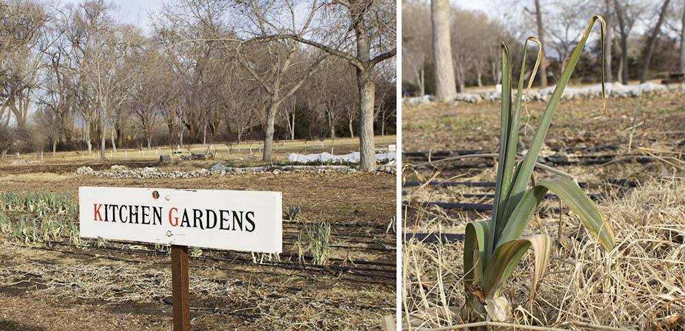 Overwintering leeks and rye in the kitchen gardens and fields.
