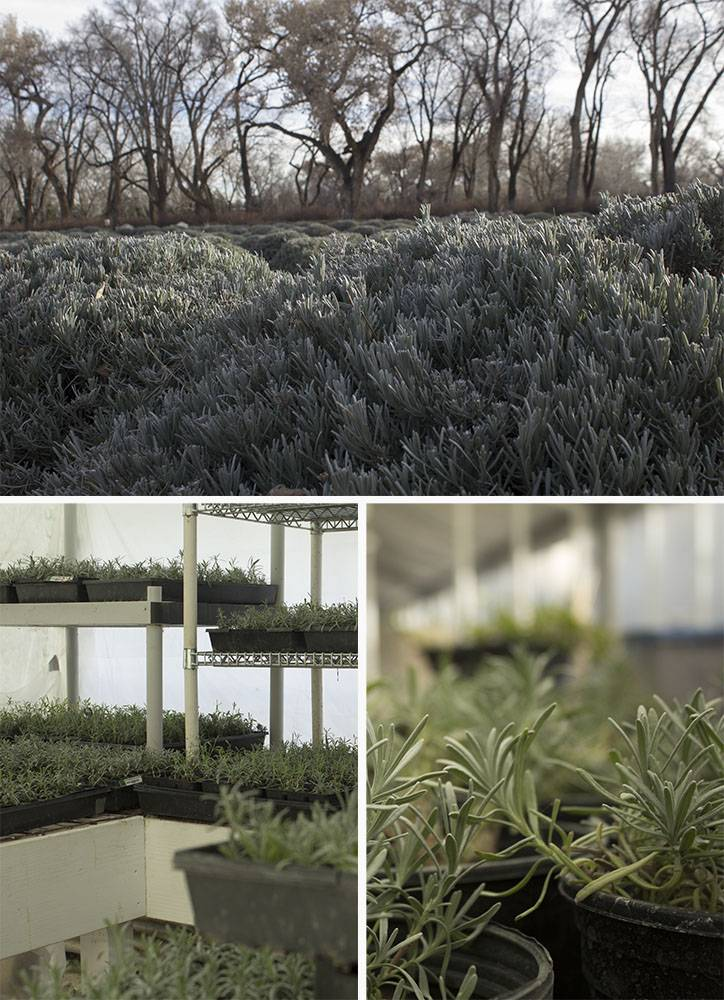 Above: Three acres of lavender growing in the winter fields. Below: Organic Lavender starts keeping warm in our greenhouse.