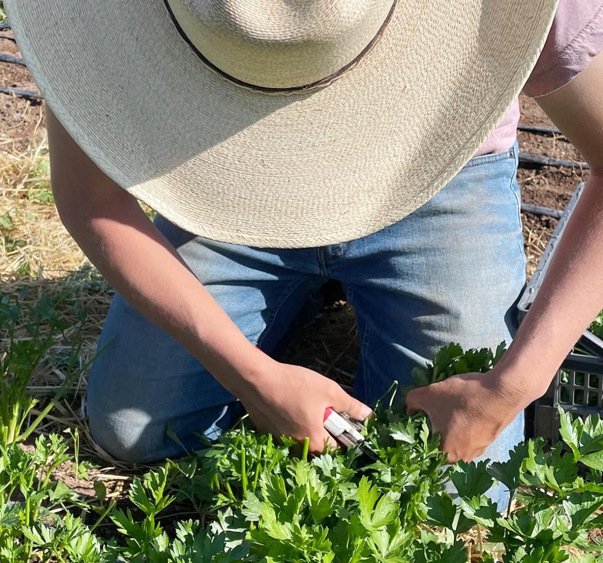 farmer cutting herbs