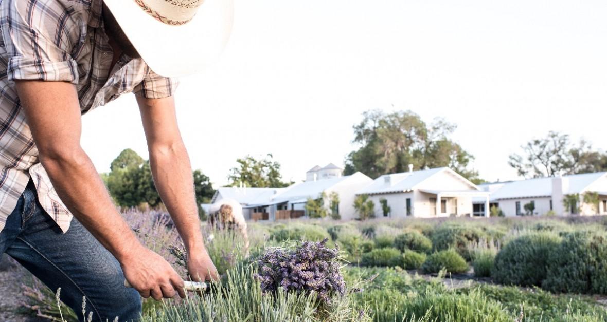 farmer trimming lavender