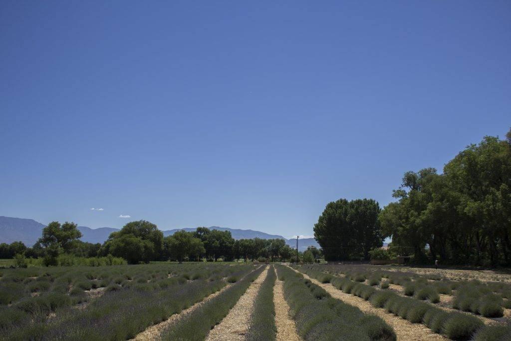 Los Poblanos Lavender Field