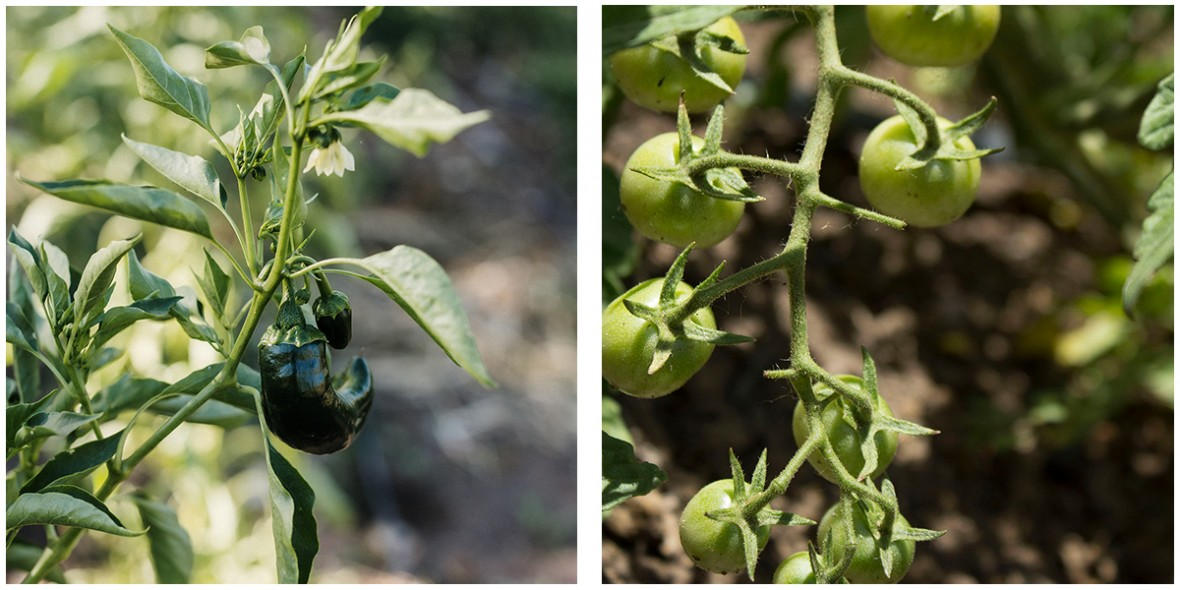 green pepper and tomato plants