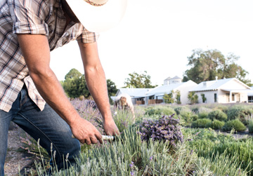 Immersive Lavender Experience