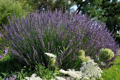 Organic Lavender & Farm